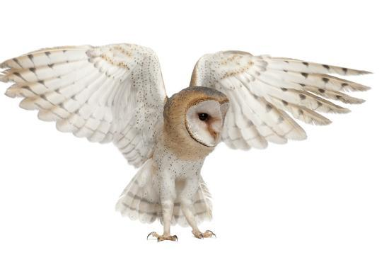 life-on-white-barn-owl-tyto-alba-4-months-old-flying-against-white-background