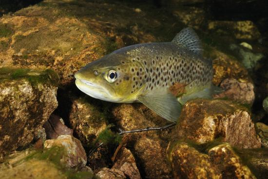 linda-pitkin-brown-trout-salmo-trutta-ennerdale-valley-lake-district-np-cumbria-england-uk-november-2011