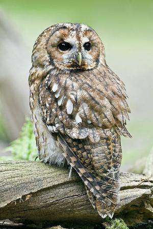 linda-wright-tawny-owl