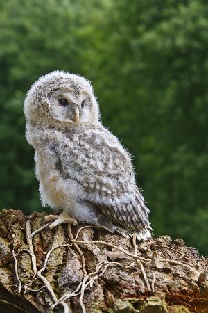 linda-wright-young-ural-owl