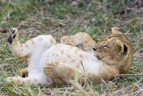 lion-10-week-old-cub-resting-with-full-belly