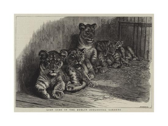 lion-cubs-in-the-dublin-zoological-gardens
