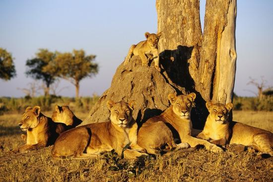 lion-pride-resting-at-acacia-tree
