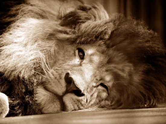 lion-sleeping-at-whipsnade-zoo-asleep-one-eye-open-march-1959