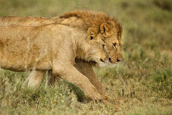 lioness-and-lion