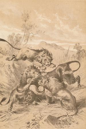lions-attacking-a-buffalo-c1880