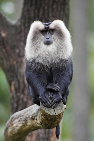 liontail-macaque-male-sitting-on-branch