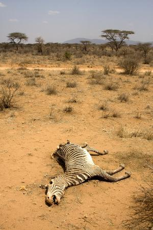 lisa-hoffner-dead-grevy-s-zebra-equus-grevyi-most-likely-the-result-of-the-worst-drought-2008-2009