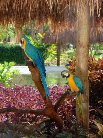 lisa-s-engelbrecht-two-blue-and-gold-macaws-perched-under-thatched-roof