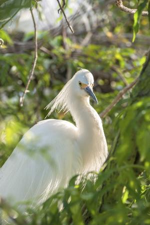 lisa-s-engelbrecht-usa-florida-orlando-snowy-egret-gatorland