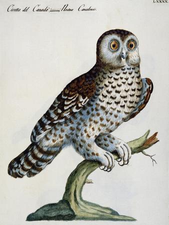 little-owl-of-canada-noctua-canadensis