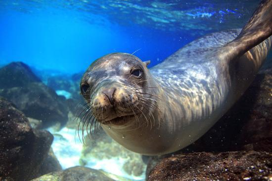 longjourneys-sea-lion-swimming-underwater-in-tidal-lagoon-in-the-galapagos-islands