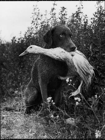 loomis-dean-chesapeake-bay-retriever-trigger-holds-donald-the-duck-after-being-thrown-into-water-by-owner
