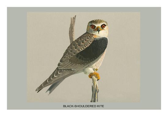 louis-agassiz-fuertes-black-shouldered-kite