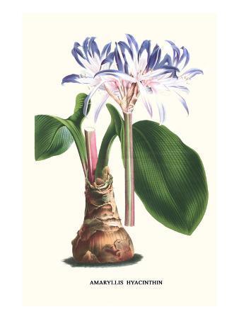 louis-van-houtte-amaryllis-hyacinthin