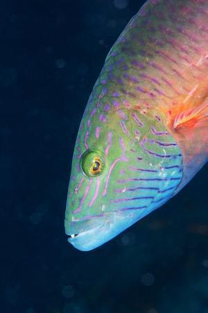 louise-murray-cheek-lined-wrasse-oxycheilinus-digramma-matangi-island-vanua-levu-fiji-pacific
