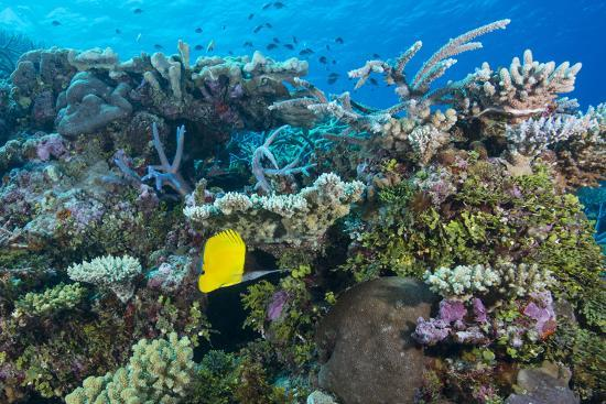 louise-murray-colourful-healthy-hard-and-soft-coral-reef-with-long-nosed-butterflyfish-forcipiger-flavissimus