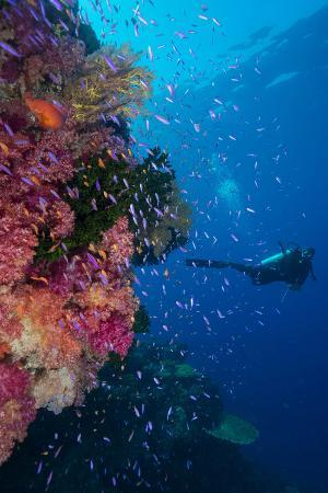 louise-murray-colourful-reef-fish-orange-and-purple-anthias-sp-plus-with-hard-and-soft-corals-on-reef-wall