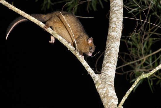 louise-murray-coppery-brushtail-possum-trichosurus-vulpecula-johnstonii