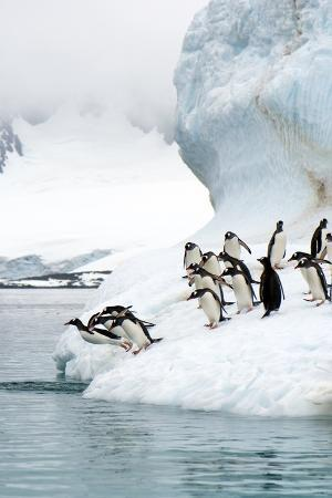 louise-murray-gentoo-penguins-jumping-into-the-sea