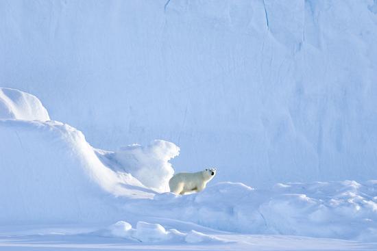 louise-murray-polar-bear