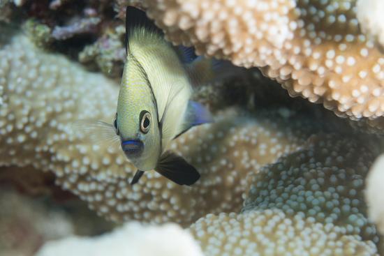 louise-murray-reticulated-dascyllus-dascyllus-reticulans-queensland-australia-pacific