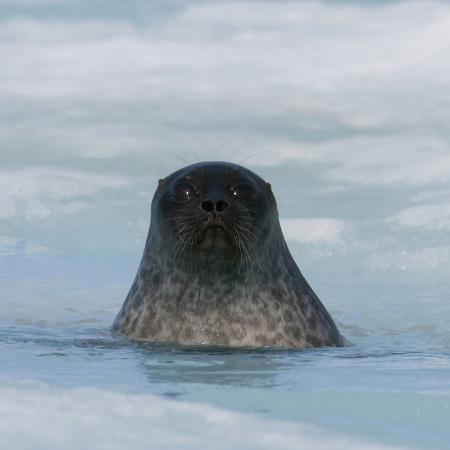 louise-murray-ringed-seal-pup-phoca-hispida-about-2-months-old
