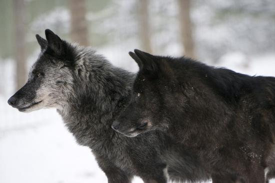 louise-murray-two-black-melanistic-variants-of-north-american-timber-wolf-canis-lupus-in-snow-austria-europe
