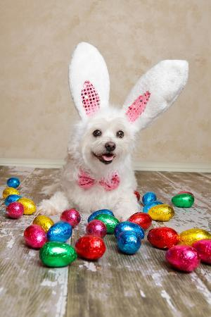 lovleah-easter-bunny-dog-with-chocolate-easter-eggs