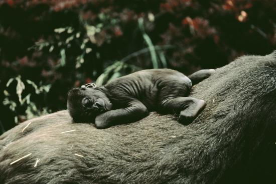 lowland-gorilla-parent-with-baby-on-back