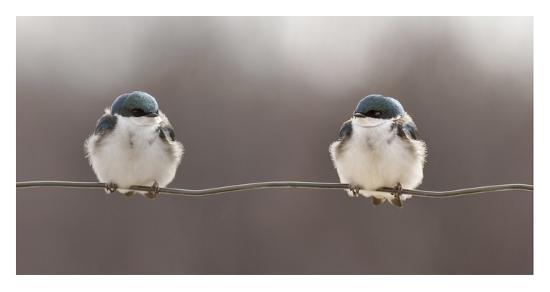 lucie-gagnon-birds-on-a-wire