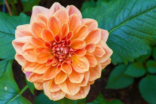 luckypic-beautiful-dahlia-flower-and-water-drop-in-garden