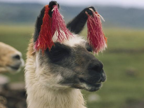 luis-marden-close-view-of-a-llama-with-tassels-in-its-ears