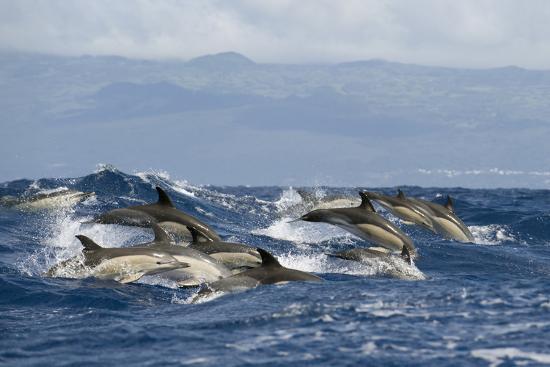 lundgren-common-dolphins-delphinus-delphis-porpoising-pico-azores-portugal-june-2009