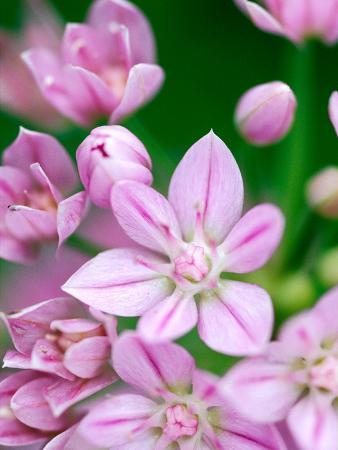 lynn-keddie-allium-uniflorum-close-up-of-pink-flower
