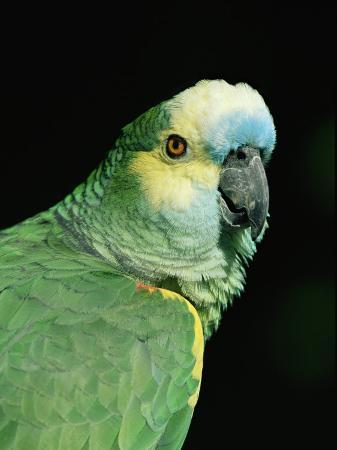 lynn-m-stone-blue-fronted-amazon-parrot
