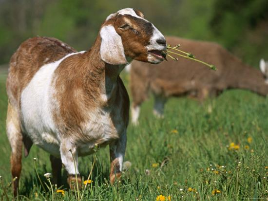 lynn-m-stone-domestic-goat-grazing-usa