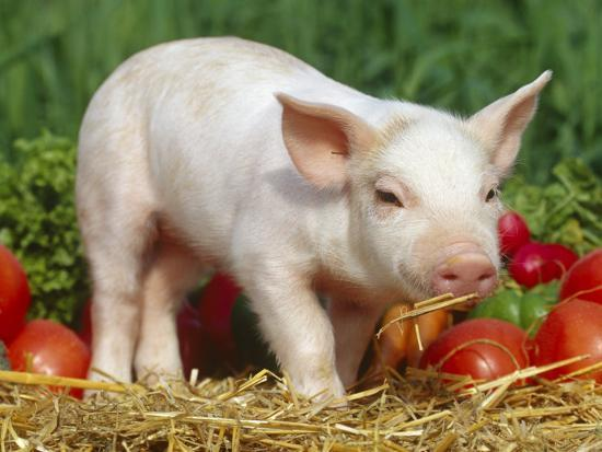 lynn-m-stone-domsetic-piglet-with-vegetables-usa