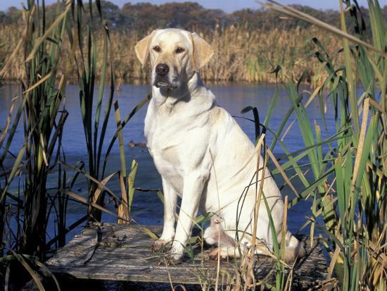 lynn-m-stone-golden-labrador-retriever-dog-portrait-sitting-by-water