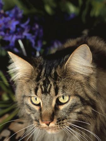 lynn-m-stone-maine-coon-domestic-cat-usa