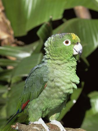 lynn-m-stone-mealy-amazon-parrot