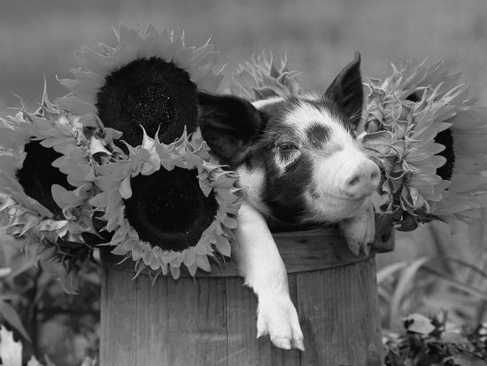lynn-m-stone-mixed-breed-piglet-in-basket-with-sunflowers-usa