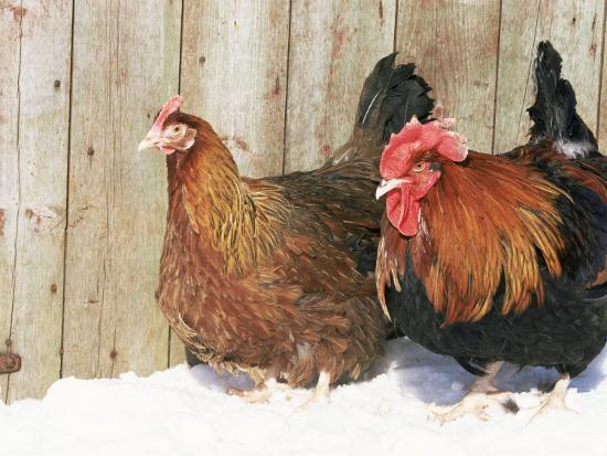 lynn-m-stone-red-dorking-domestic-chicken-cock-and-hen-in-snow-iowa-usa