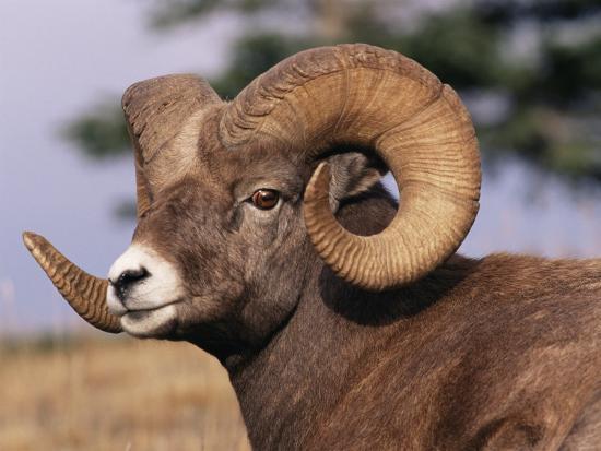 lynn-m-stone-rocky-mountain-bighorn-sheep-ram-jasper-national-park-alberta-usa