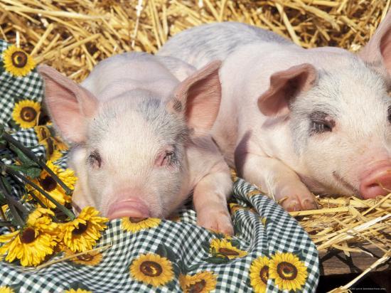 lynn-m-stone-two-domestic-piglets-mixed-breed