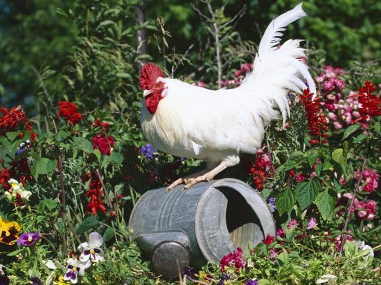 lynn-m-stone-white-dorking-domestic-chicken-rooster-cock-male-in-garden-usa