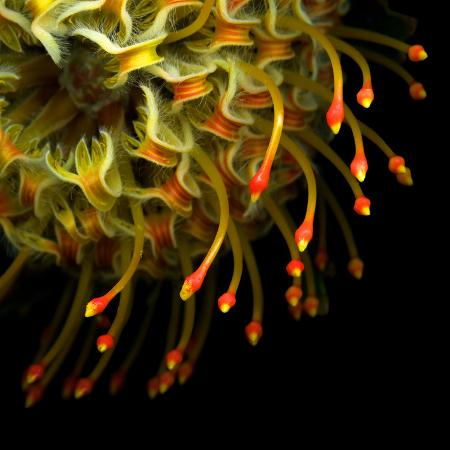 magda-indigo-pincushion-protea