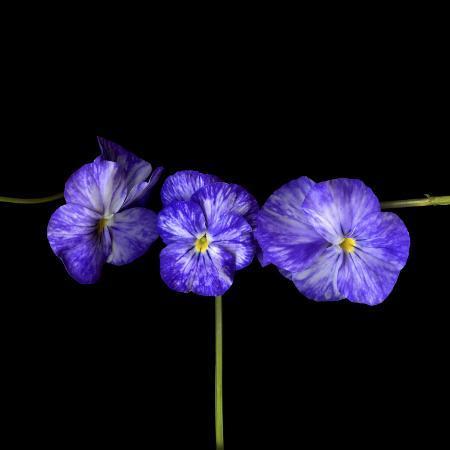 magda-indigo-violets