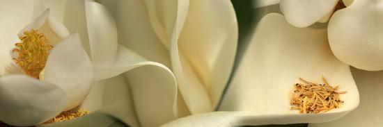 magnolia-heaven-flowers