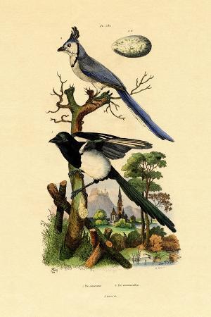 magpie-jay-1833-39
